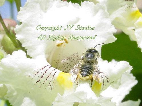 Catalpa bignonioides Tree Seeds