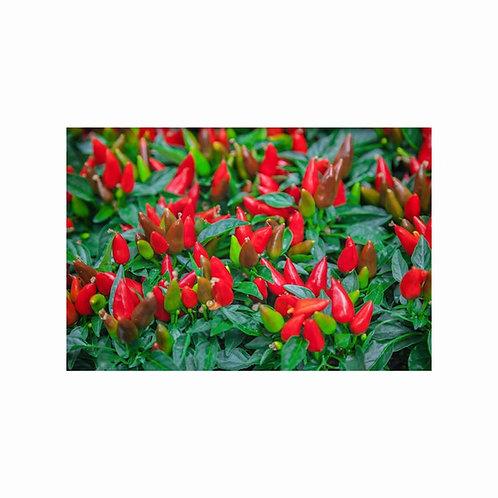 10 seeds Little Wonder Ornamental Pepper ==All natural - Heirloom