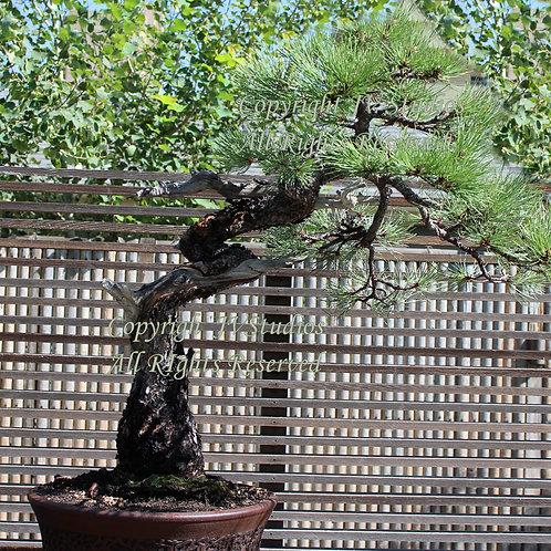 Pinus thunbergii Bonsai Tree Seeds Black Pine