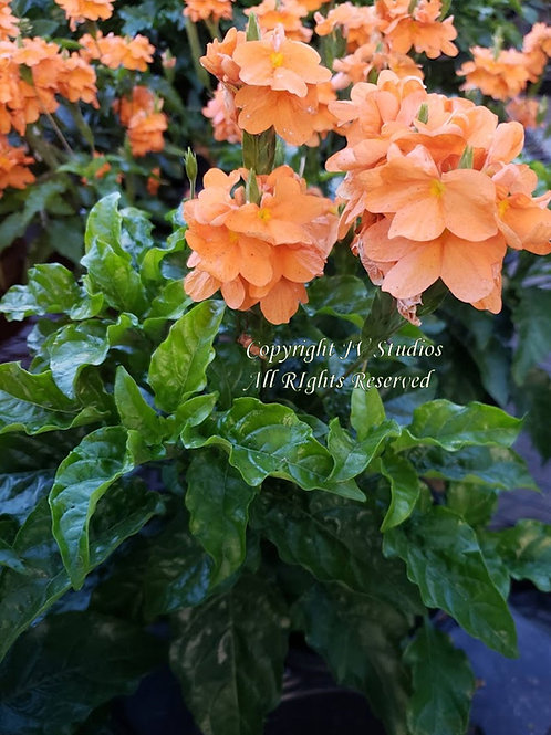 Crossandra Orange Marmalade 10 seeds