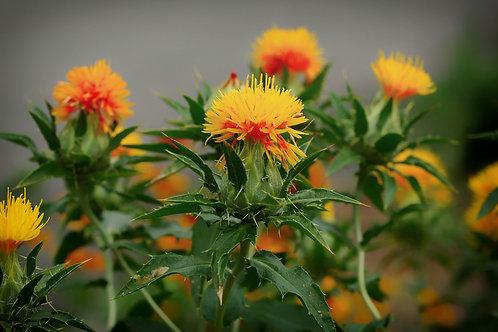 Carthamus tinctorius Safflower Seeds Annual Flower