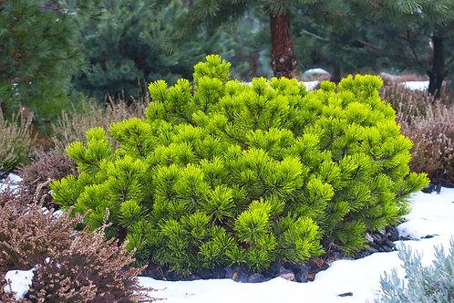 Pinus pumila Siberian Dwarf Pine Tree Seeds