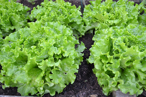 Green Salad Bowl Lettuce seeds Heirloom Top Quality Non GMO Home & Market