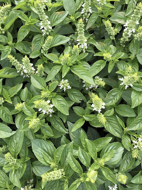 Lime Basil Garden Herb Wholesome Non GMO Aromatic citrus