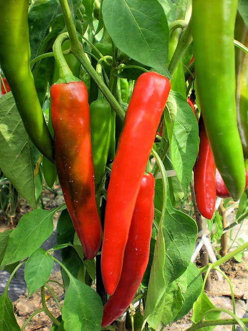 SEEDS = =Anaheim Chile Pepper Heirloom Non GMO 20 Seed Garden Pack
