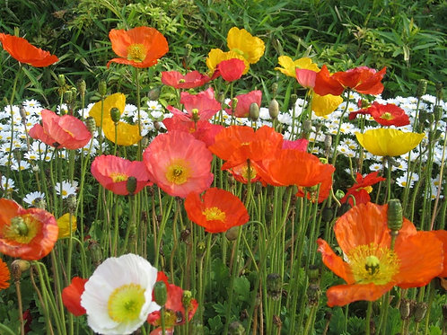 100+ premium seeds - California Mission Bells Poppy -Attracts Butterflies