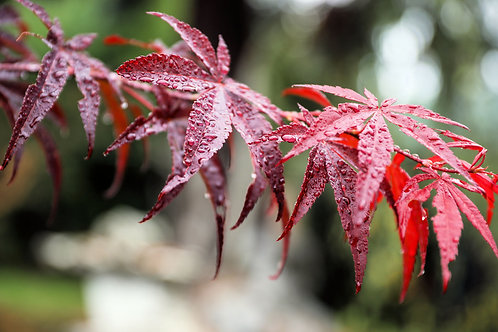 Acer palmatum Matsumurae Kasagiyama Seeds Rare Japanese Maple