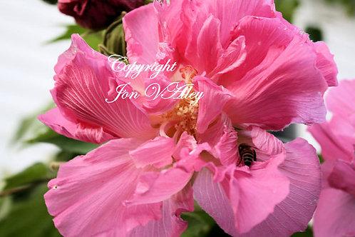 Hibiscus mutabilis Confederate Rose 20 Seeds