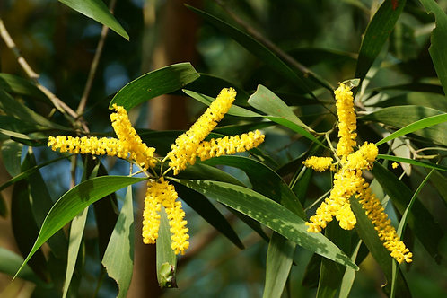 Acacia auriculiformis Papuan Tree Wattle Seeds