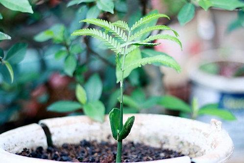 Parkia speciosa Bitter Bean Tree Petai 3 Rare Seeds