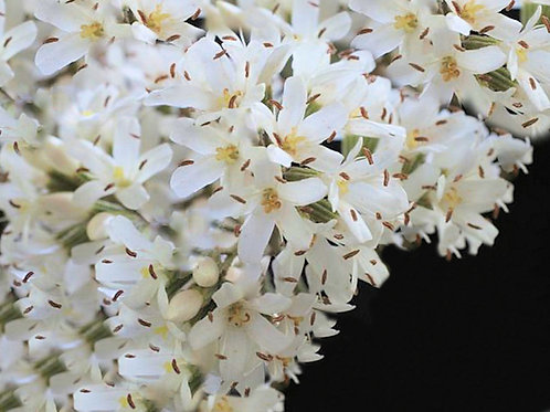 Cordia alliodora Forest Laurel 5 Seeds