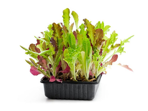 250 SEEDS - Serendipity's Mixed Greens Lettuce --Heirloom -Beautiful colors