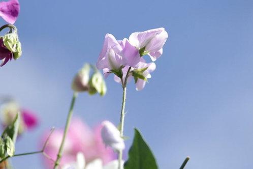 10 Seeds Sweet Pea Royal Lavender Seed Pack -Rainbow Flowers