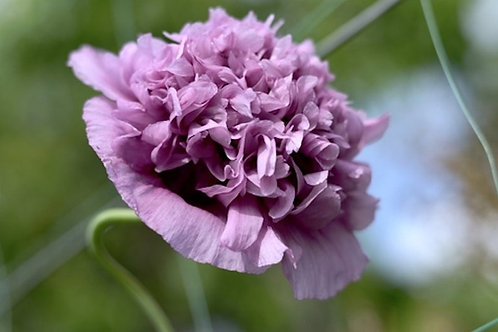 100+ premium seeds- Purple Frilly Poppy -Attracts Butterflies