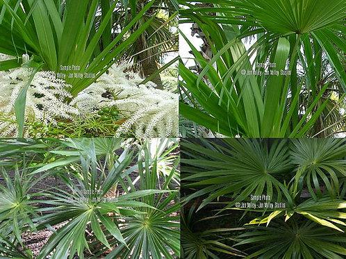 Schippia concolor Silver Pimento Palm Seeds