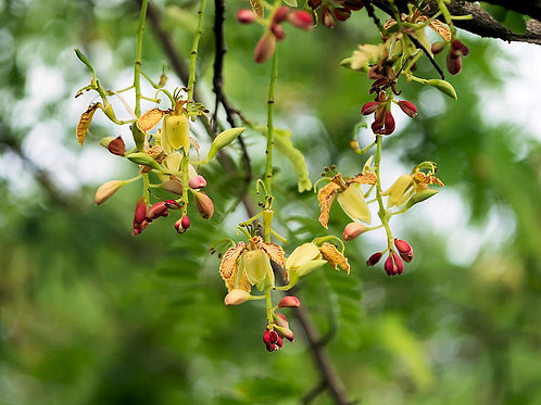 Tamarindus indica Tamarind Tree seeds