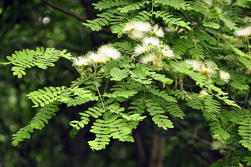 Albizia richardiana Very Rare -Bonsai- Ornamental Tropical-  Seeds