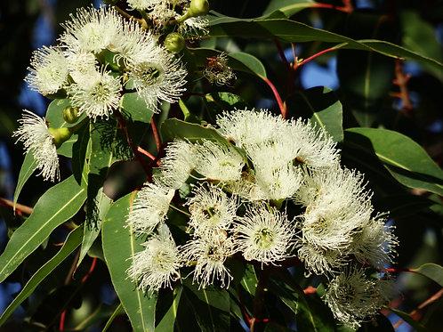 Eucalyptus citriodora Tropical Tree seeds