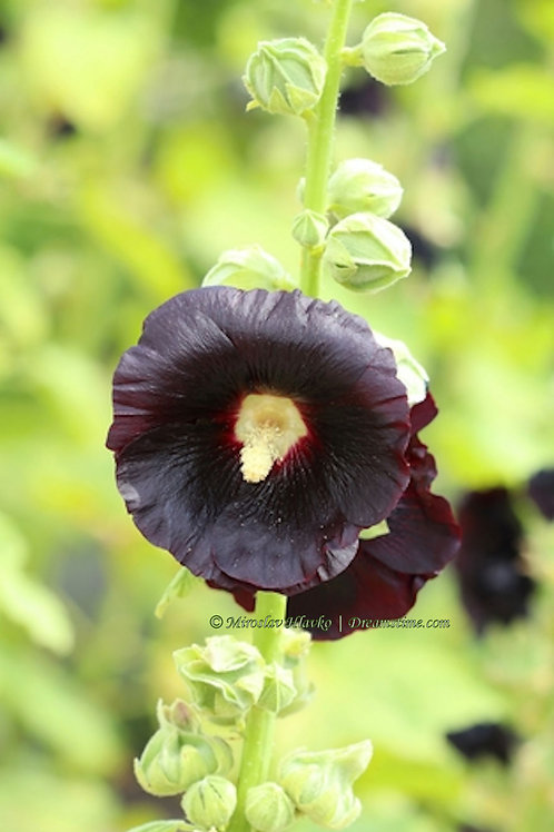 Black Hollyhock Flower Bedding Plant 10 Seeds