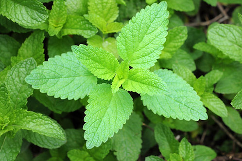 Pleasant Himalayan Mint-  Elsholtzia blanda -Garden Herb Seeds! Natural non gmo