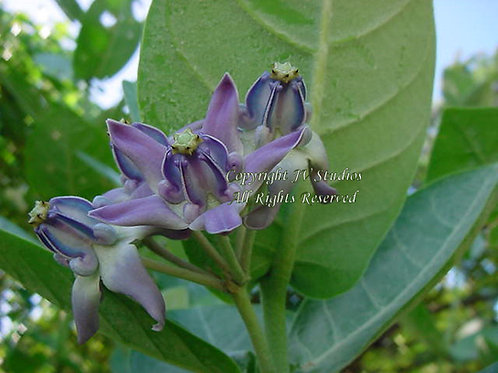 Calotropis gigantea seeds Blue Crown Flower