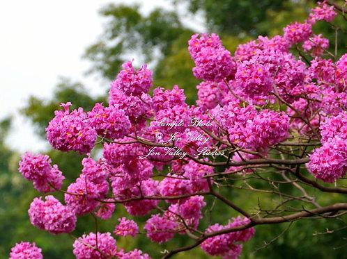 Tabebuia impetiginosa Pink Trumpet Tree seeds