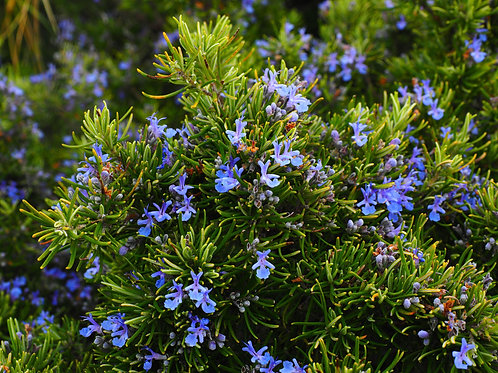 Rosemary Herb Seeds Market or Home Gardening Potted Plant seed Non GMO