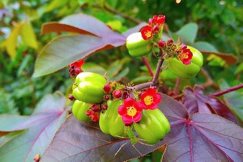 Jatropa curcas Barbados Nut seeds Tropical Ornamental