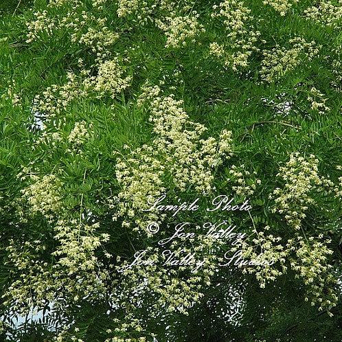 Styphnolobium japonicum Sophora japonica seeds