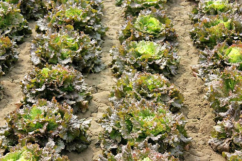 250 SEEDS - Red Sails Garden Lettuce --Heirloom -Beautiful colors