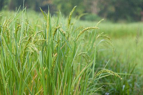 Oryza sativa Koshihikari Rice 30 Seeds