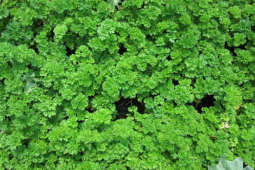 Moss Curled Green Parsley  Seeds
