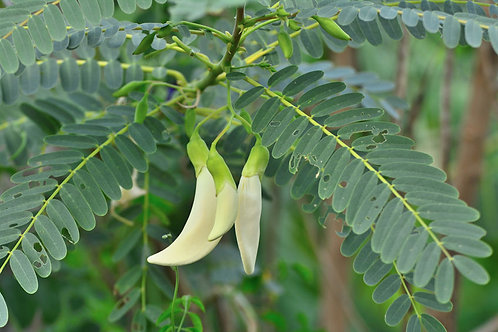 Sesbania grandiflora White Hummingbird Tree 10 Seeds Limited Supply