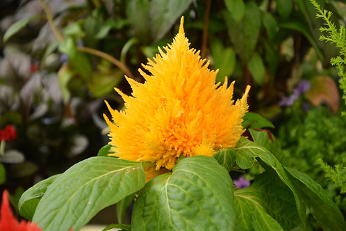 Celosia argentea var cristata Yellow Feather