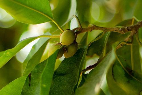 Mimusops elengi  Spanish Cherry 10 Seeds