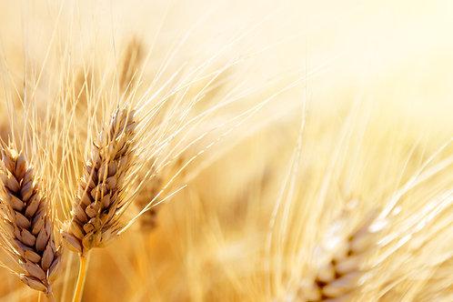 Organic Einkorn Seeds Ancient Heirloom Wheat -Cereal & flour Grain