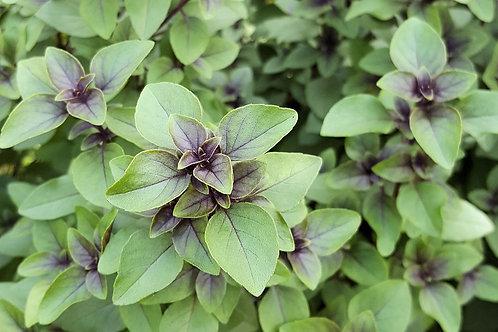 Ocimum tenuiflorum Sacred Tulsi Holy Basil Premium Seeds