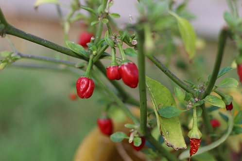 Hot Chiltepin Pepper - Wild Chile - 10 seeds