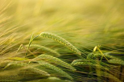 50 seeds- Starter Fun Pack -Streaker Barley- Ancient Cereal Grain