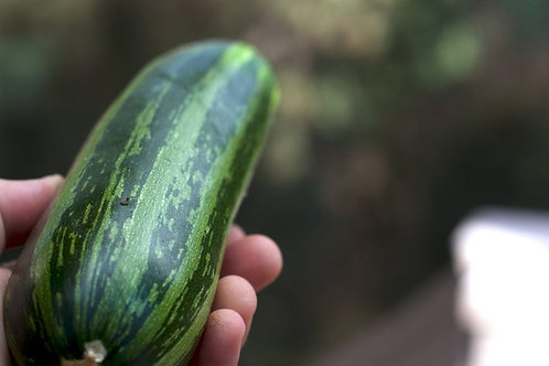 Cocozelle Zucchini Squash 10 Seeds -Heirloom Vegetable -Great Taste