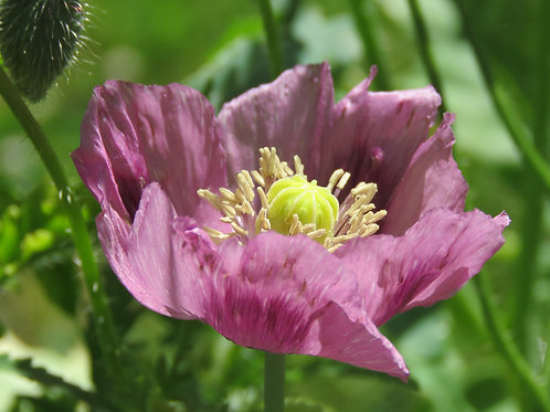 Giant Double Petaled Purple Poppy  100  Premium Seeds