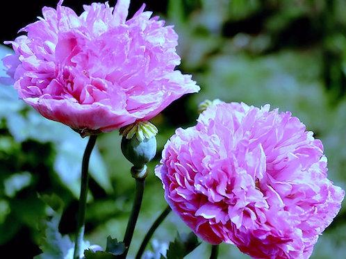 100 premium seeds- Double Flower Purple Poppy - Attracts Butterflies