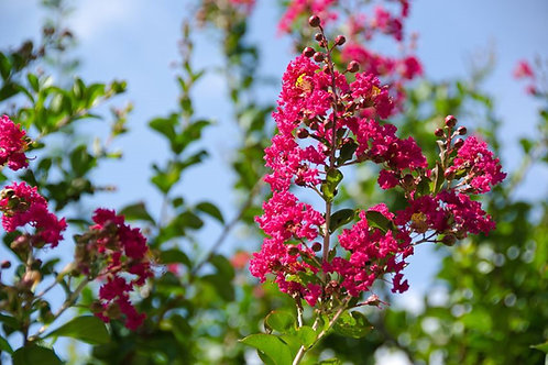 Lagerstroemia indica Tree Banaba Crape Myrtle Red - Fuchsia
