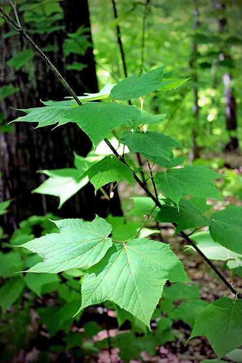 Acer pensylvanicum Striped Maple Seeds