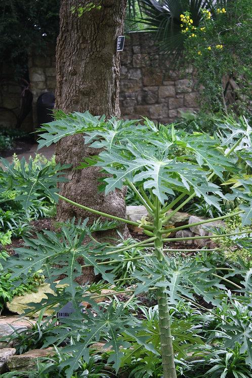 Carica papaya Tree Seeds Dwarf Papaya