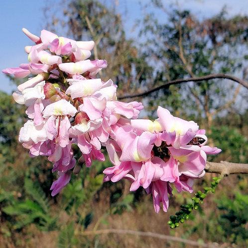 Gliricidia sepium Forest Lilac Seed