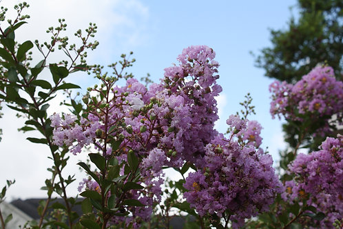 Lagerstroemia indica Tree Banaba Crape Myrtle Purple Flower