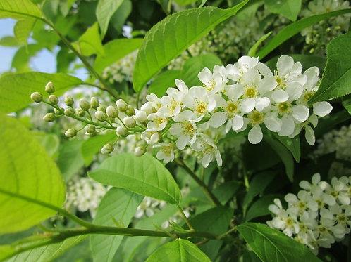 Celtis occidentalis - Hackberry - 10 Seeds - Standard Tree or Deck Gardens