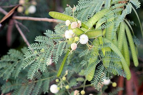 Leucaena leucocephala Wild Tamarind seeds