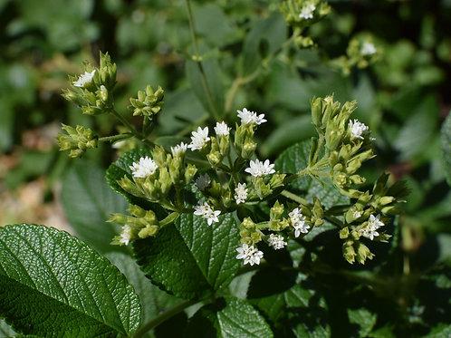 Stevia rebaudiana Candyleaf 30 tropical herb seeds